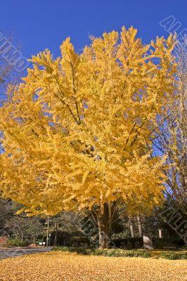 Yellow Tree in Fall