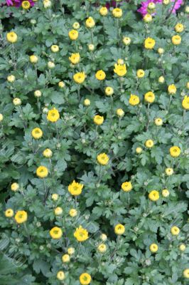 detailed close-up background of yellow flowers