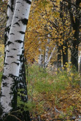 Autumn yellow birch alley