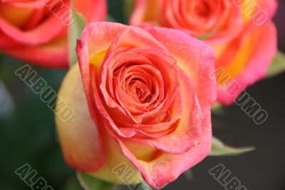 detailed close-up of vivid fresh rose flower