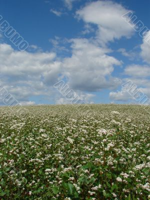 buckwheat field in white blossoming blue sky