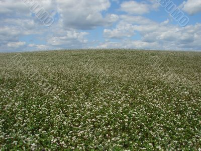 buckwheat field in white blossoming cloudy sky