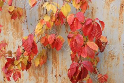 Red autumn vinegard leaves on rusty wall