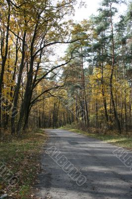 Autumn road with yellow tress on both sides