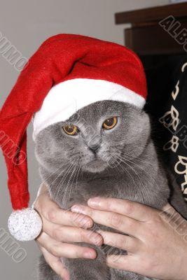 The British kitten in a cap Santa on hands