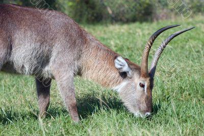 Horned Animal