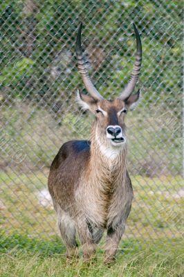 Horned Animals 4
