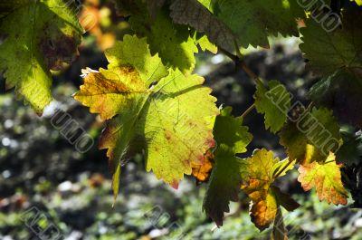 Autumn leaves on vine