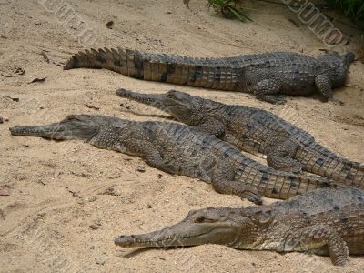 crocodiles on the beach