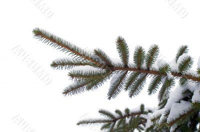 snowy spruce twig in winter.