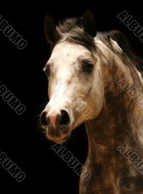 Arabic horse head
