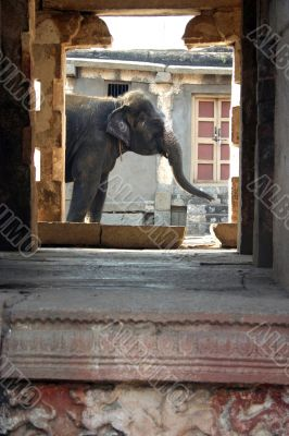 The Indian elephant