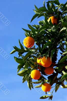 Mature oranges on the tree with blue sky.