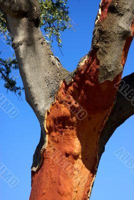 oak cork