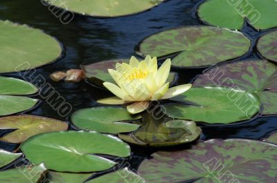 Yellow water lilly on leafs