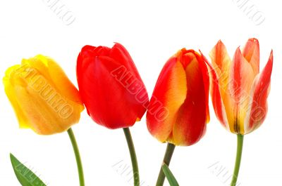 Beautiful colorful tulips isolated