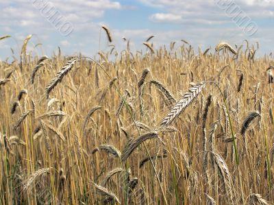 ripe golden barley stalk
