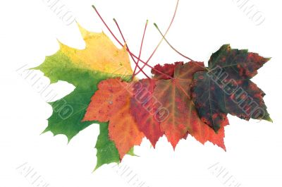 Colorful fall leafs solated