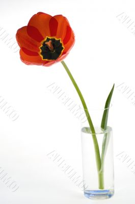 Red tulips in flower pot isolated