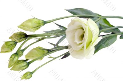 Bunch of white roses isolated