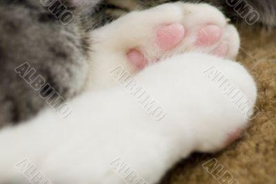 Macro Kitten Paws