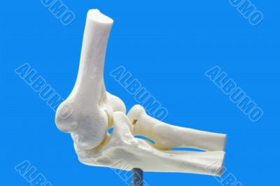 Anatomy model from human elbow