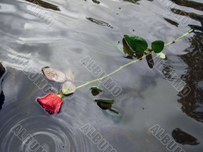 Red rose in water