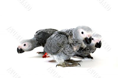 red tale parrot isolated on white