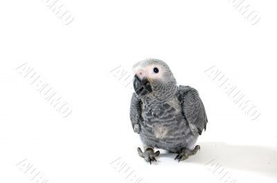 baby red tale parrot