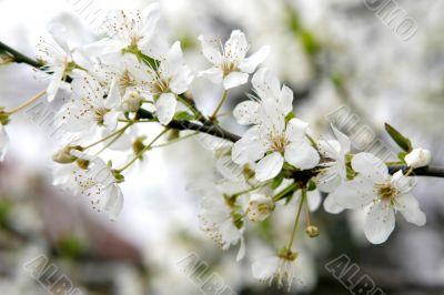 blossom cherry spring