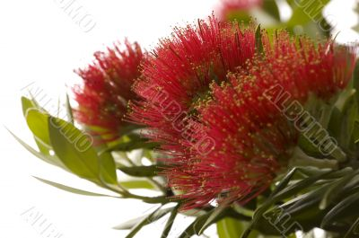 Pohutukawa - New Zealand Christmas tree.