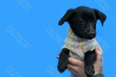 small black dog in jacket on blue background