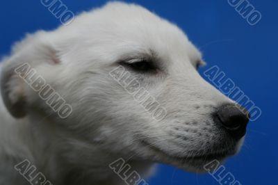 head of big white dog on blue background