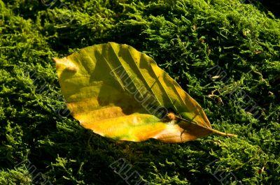 yellow leaff on moss