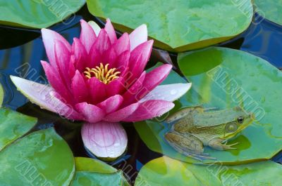 Pink Water Lily and Green Frog