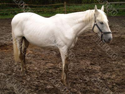 melancholy white horse