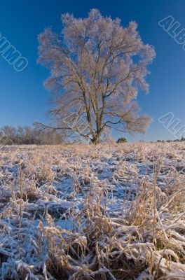 Iced Tree in Meadow