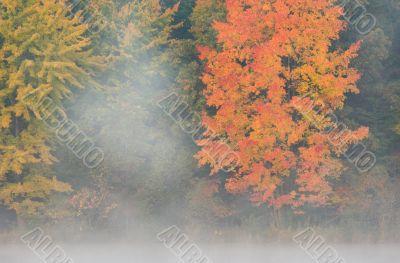 Autumn Maple in Fog