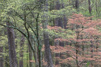 Spring Dogwoods
