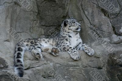 Graceful Snow leopard