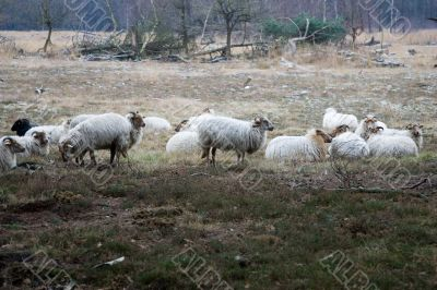 Wild sheep on the heath