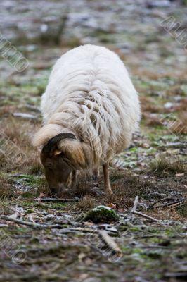 Wild sheep grazing