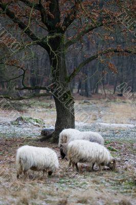 Wild sheep surround a lone tree
