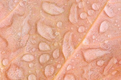 Raindrops on Maple Leaf