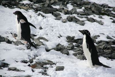 Adelie penguins climbing a hill