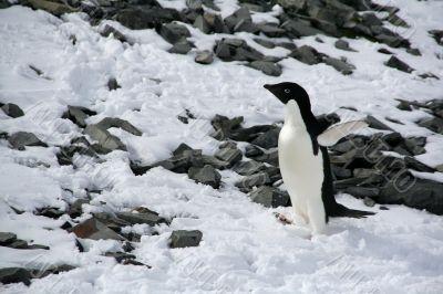 Adelie penguin starting up a hill,