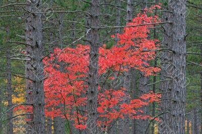 Autumn Maple in Pines