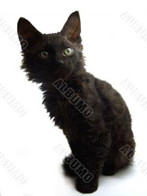 Black curious kitten