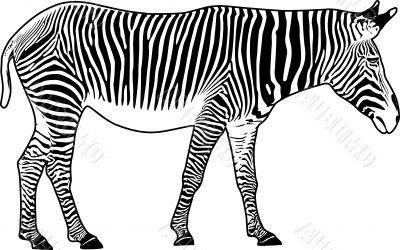 Zebra. Contour.