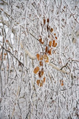 Branches of a birch.